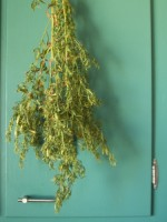 French Tarragon, drying