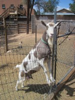 Garden & Coop Tour 2013 - Friendly Goat