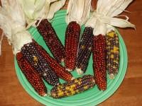 Indian Popcorn ears