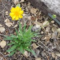 Lanceleaf Coreopsis blooming