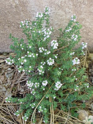 Thyme in bloom