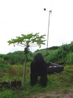 WWOOF Hawaii - Hansen the gorilla and a windmill