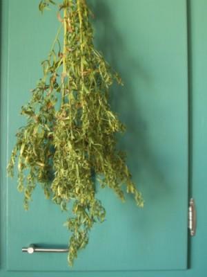 French Tarragon, drying