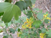 Golden Currant, blooming