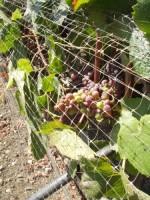 Grape vines at Talley Vineyards