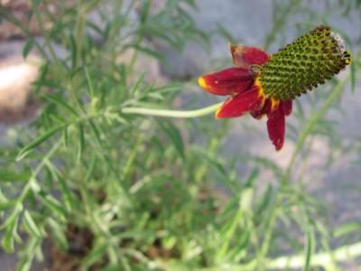 Mexican Hat flower closeup