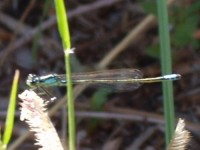 Narrow-Winged Damselfly