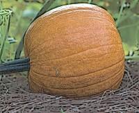 Pumpkin in repose
