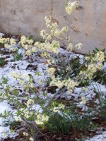 Wild Plum in bloom with snow